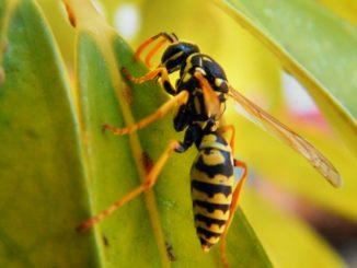 Puntura di vespa gonfiore